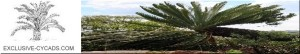 banner_exclusive_cycads