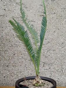 angustifolia_28.8.12